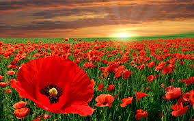 poppies flowers the poppy flower and it s significance to memorial day avas flowers