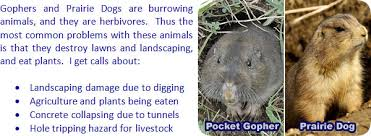Can You Bury Animals In Your Backyard How To Get Rid Of Gophers In Your Garden And Yard