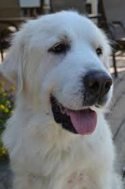 great pyrenees rescue provides wonderful dogs to good homes great pyr rescue luna
