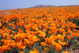 antelope valley california poppy reserve state natural