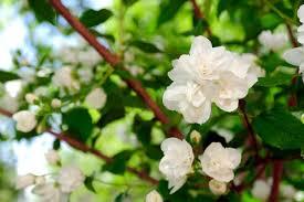 Jasmine Flowers Jasmine Flower Varieties And Types Of Jasmines Theflowerexpert
