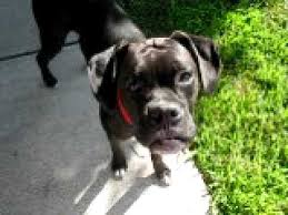 boxer dog reverse brindle boxer pup reverse brindle or black magic youtube