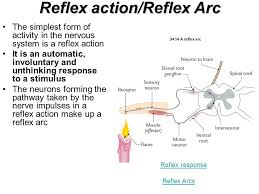 How Does A Reflex Arc Work In A Nervous System The Nervous System Lesson Objectives By The End Of This Lesson