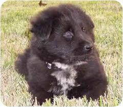 affenpinscher puppies for sale in texas kipper adopted puppy rockwall tx chow chow labrador