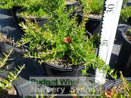 small australian native plants grevillea rosemarinifolia 200mm pot premium plants australian