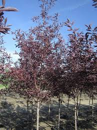 prunus schubert chokecherry 15 gallon 8 10 calgary plants