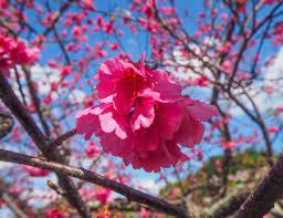 cuisine 馗ossaise voir la floraison des cerisiers à okinawa au japon le festival du