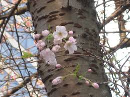 plum trees versus cherry trees how to tell the difference and
