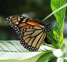 file monarch butterfly danaus plexippus laying eggs jpg