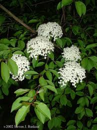 maine native plants small flowering trees a dozen native species for limited spaces