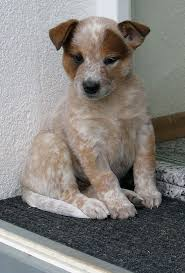 australian shepherd spaniel mix 96 best australian cattle dogs mixes images on pinterest cute