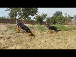 belgian shepherd dog price in pakistan dog hi dog for sale in delhi 9999039993 in india online olx amazon
