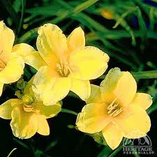 stella d oro daylily plant profile for hemerocallis stella de oro stella de oro