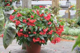 dragon wing red angelwing begonia begonia hybrid proven winners