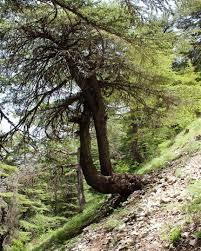 ehden heavenonearth amazingtree lebanon insta lebanon