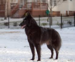 belgian sheepdog groenendael breeder ch blackforest u0027s bright star u2013 roxy u2013 blackforest belgian