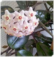 kommode yunnan porzellanblume hoya carnosa zimmerpflanze zimmerpflanzen