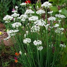 garlic chives ornamental allium smartseeds