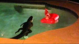 Pool In Backyard by Florida Couple Finds Alligator Taking A Dip In Backyard Pool Abc