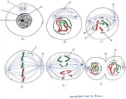 Mitosis Worksheet Phases Of The Cell Cycle Blank Mitosis Diagram