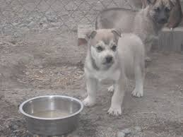 Sponsor A Puppy For The Blind Dog Faqs Seeing Double Sled Dog Racing