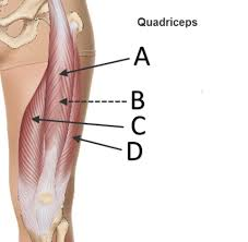 Human Anatomy Quizes Anatomy Quiz Muscles Of The Leg