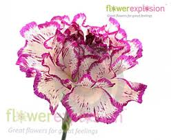 purple carnations wholesale standard purple and white carnation flower arrangements