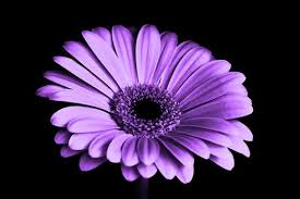 purple flower purple flowers pexels free stock photos