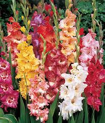 gladiolus flowers gladiolus bulbs grow unique colorful cut annual flowers burpee
