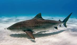 what u0027s the difference between a great white and a tiger shark