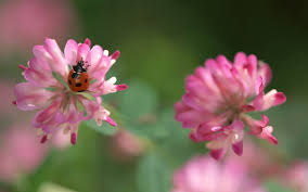 Ladybug And Flower Tattoos - clover flower tattoo wallpaper