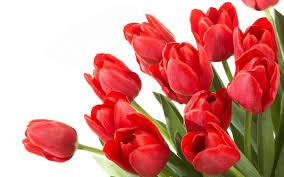 wallpaper bunga tulip wallpaper red tulips wallpapers