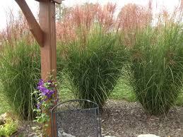decor ornamental grasses with shade ornamental grasses also