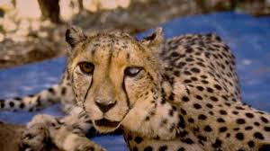fastest land animal can u0027t hunt stranger than nature video