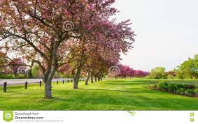 pink blossom trees beside a road stock image image 72140355