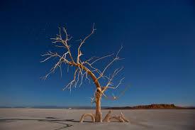 a dead oak tree at the contaminated salton sea in california imgur