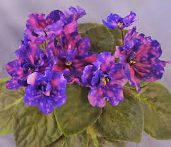 african violet grow light african violet care violet barn