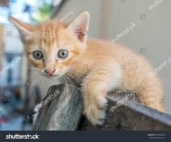 little cute golden brown kitten blue stock photo 453858889