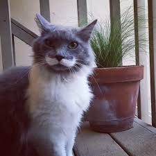 Mustache Cat Meme - this cat with a mustache just followed us home cats