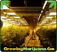 cheap grow lights for weed grow marijuana lights