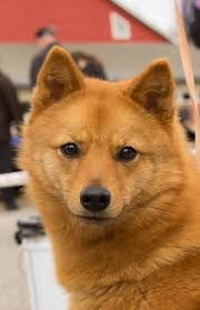 house dogs finnish spitz dogs u0026 puppies pinterest dog animal and doggies