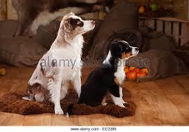 australian shepherd mit 6 monaten australian shepherd black tri puppy red tri stock photos