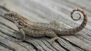 curly tail lizard control pest control chemicals 800 877 7290
