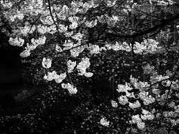 my black and white take on sakura taken at the burrard sky u2026 flickr