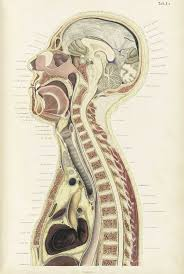 Neck Cross Sectional Anatomy 507 Best Antique Anatomy Images On Pinterest Anatomy Art