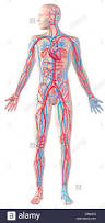 Human Anatomy Full Body Picture Human Circulatory System Full Figure Cutaway Anatomy