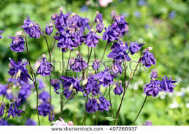 columbine plant columbine flowers stock images royalty free images vectors