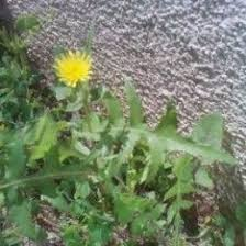 Dandelion Facts 11 Best Puha Images On Pinterest Thistles Edible Plants And