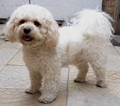 bichon frise puppy cut classie grooming gallery