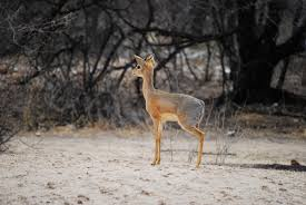 free images wildlife small africa mammal fauna antelope